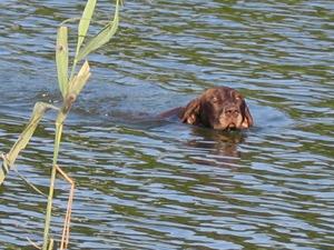 jachthond zwemmen
